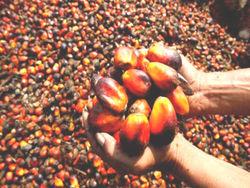 Oil palm 1 thumb